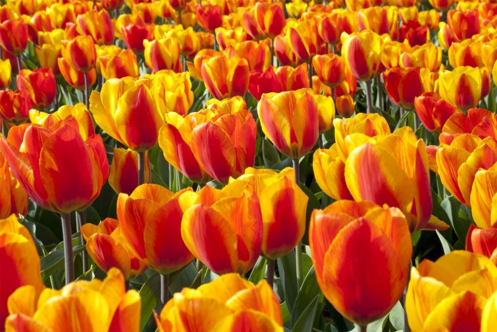 Keukenhof, olanda, tulipani